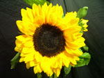 Sunbright Sunflower