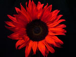 Sunbright Tinted Red Sunflower