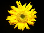Mini Sunrich Sunflower