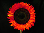 Pro Cut Tinted Red Sunflower