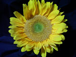 Sunrich Sunflower