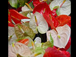 Assorted Anthuriums