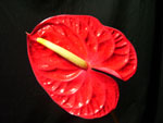 Red Anthuriums