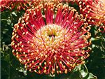 Flame Giant Proteaceae