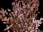 Pink Calcynia