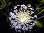 Blue Lace Laceflower