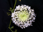 White Lace Laceflower