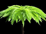 Umbrella Fern Australia